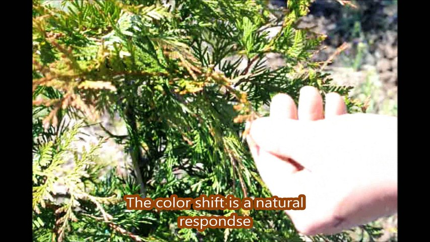 ... About Natural Protective Coating on Arborvitae