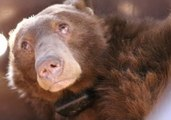 Bears Burned in California Wildfires Treated With Fish Skin Bandages
