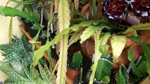 How to care for and grow Epiphyllum Ci / Orchid Cus/ Epiphytic cus