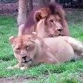 Cette lionne a terriblement envie de faire des calins mais le lion s'en fiche completement