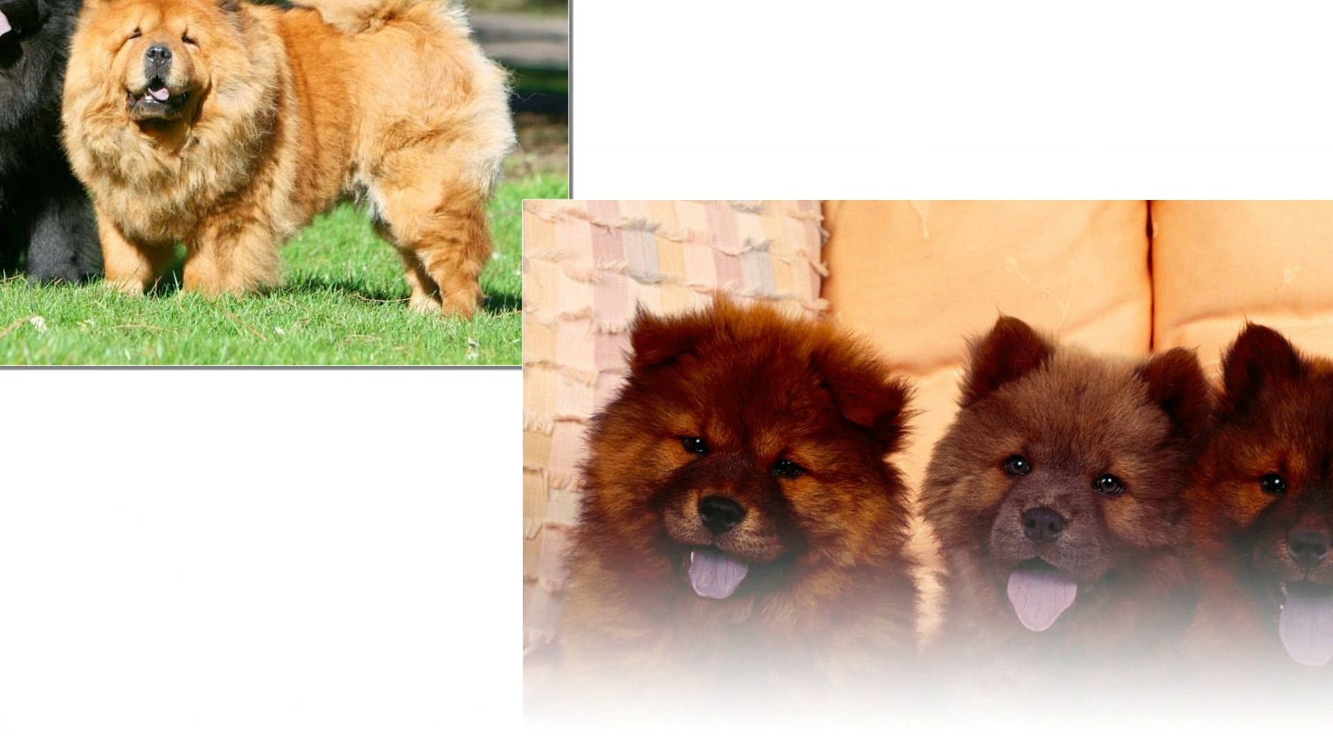 Chow Chow dogs - Cute dogs come from China. They look very lovely. I'm sure you will be to like