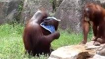 C'est un orang-outan qui est trempé dans l'eau en le faisant tremper dans l'eau et en y mettant le chiffon qu'il humidifie