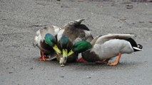 wildlife ducks video - most beautiful mandarin duck and wood ducks in the world