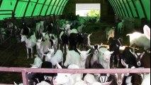 Cow feeding milk to baby goats   wow amazing scene - video
