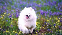 AMERICAN ESKIMO DOGS ! One of the best beautiful dogs in the world. They are very beautiful, very lovely and very cute.