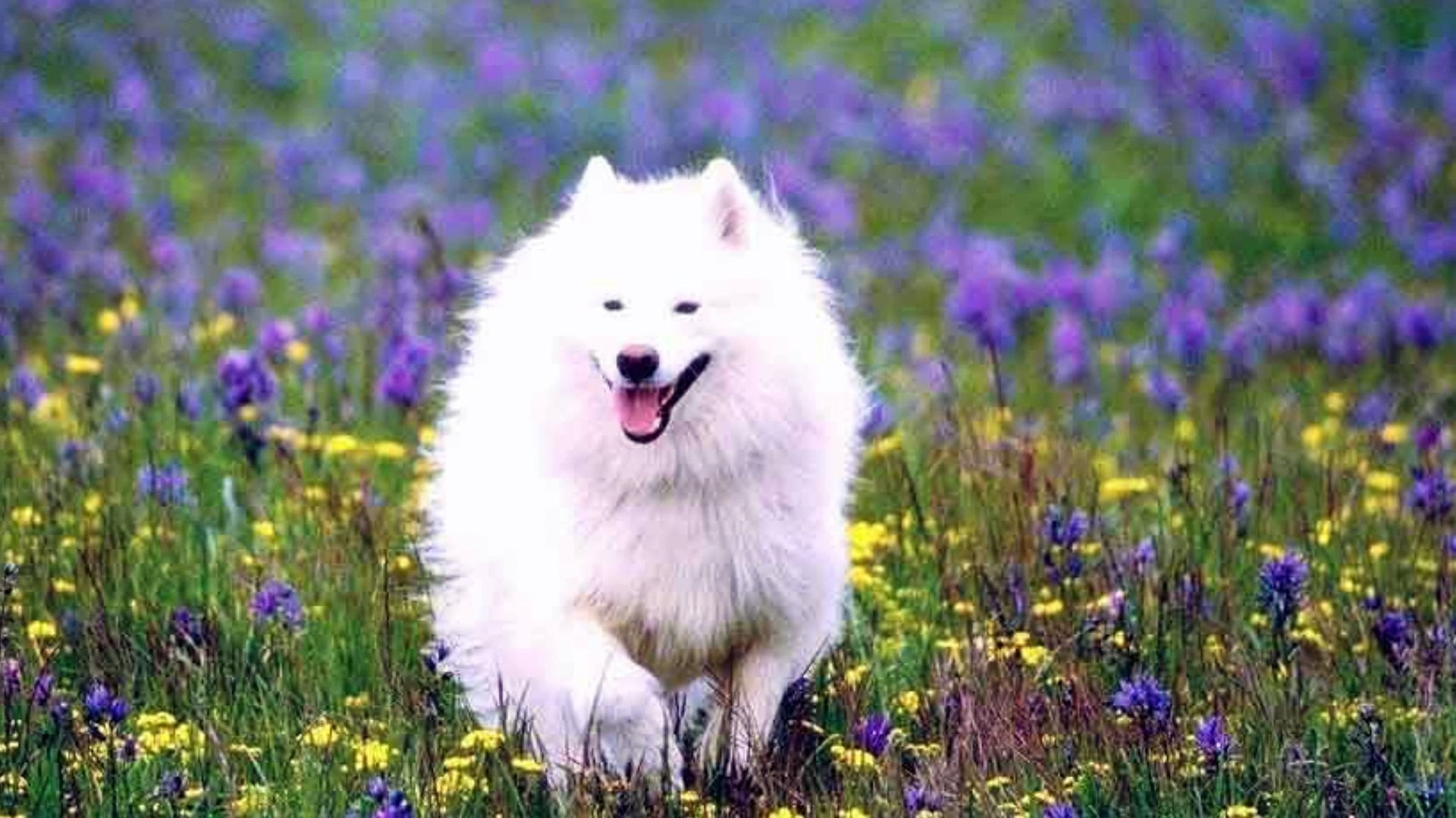 AMERICAN ESKIMO DOGS ! One of the best beautiful dogs in the world. They are very beautiful, very lo