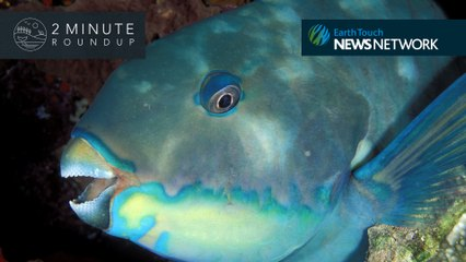 A blue-whale party, parrotfish teeth & how chimps warn their pals