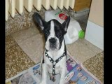 chien bouledogue francais Cassy ma chienne que j'adore