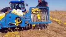 World Amazing Modern Pumpkin Field Fertilization Agriculture Mega Machines Combine Harvesters Tractor