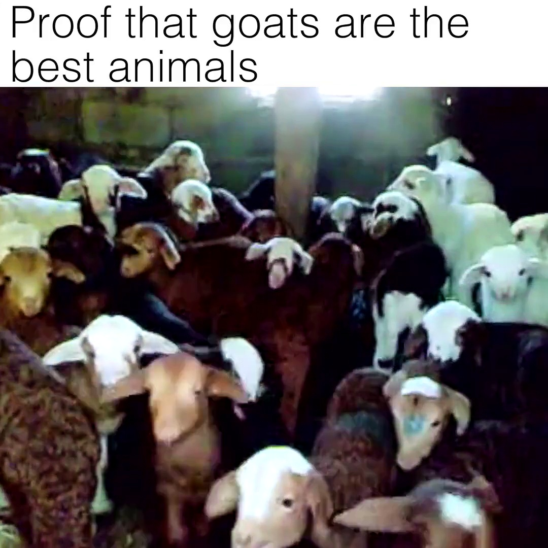 Nothing but goats