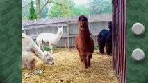 LMAO Llama on Crazy Mark TV