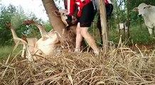 2 cyclistes sauvent une vache piégée dans un arbre par la tête !