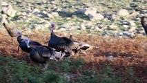 Il filme des oies sauvages.. qui lui sauvent la vie en éloignant un guépard prêt à lui sauter dessus !
