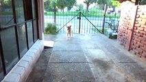 Curso de aleman para cachorro Pastor Aleman