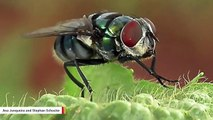 Study Finds Flies Are More Potent Disease Carriers Than Previously Believed