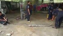 Ce python a eu les yeux plus gros que le ventre et s'est coincé dans un tuyau après avoir avalé un gros lézard