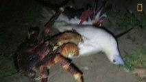 Un crabe géant attrape une mouette pour la manger