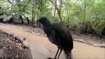 Vous n'avez probablement jamais entendu des sons si étranges sortir du bec d'un oiseau