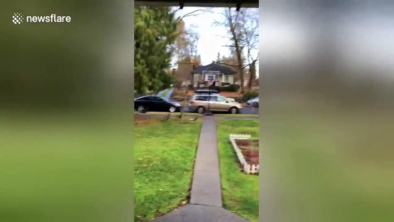 Man films turkeys walking across street on Thanksgiving