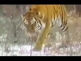 Leopard vs pitbull. Puma chien dattaque. Jaguar, Tiger, Les animaux sauvages tuent les ch