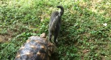 Very Faithful Tortoise Will Follow His Cat Friend To The End Of The World