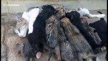 7 chiots nourris par une.. CHATTE généreuse et assaillie par ces petits monstres...