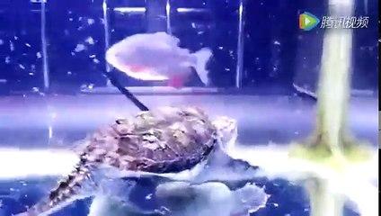 把一條食人魚和鱷龜放在缸裡,沒想到結局會是這樣!!!