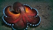 Ce petit calamar sort ses poubelles comme un humain... Adorable