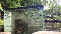 Il a placé un aquarium au milieu de son étang, en suspension au dessus de l'eau!