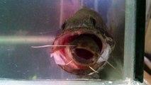 Ce poisson chat est en train de se faire avaler vivant... Dur dur