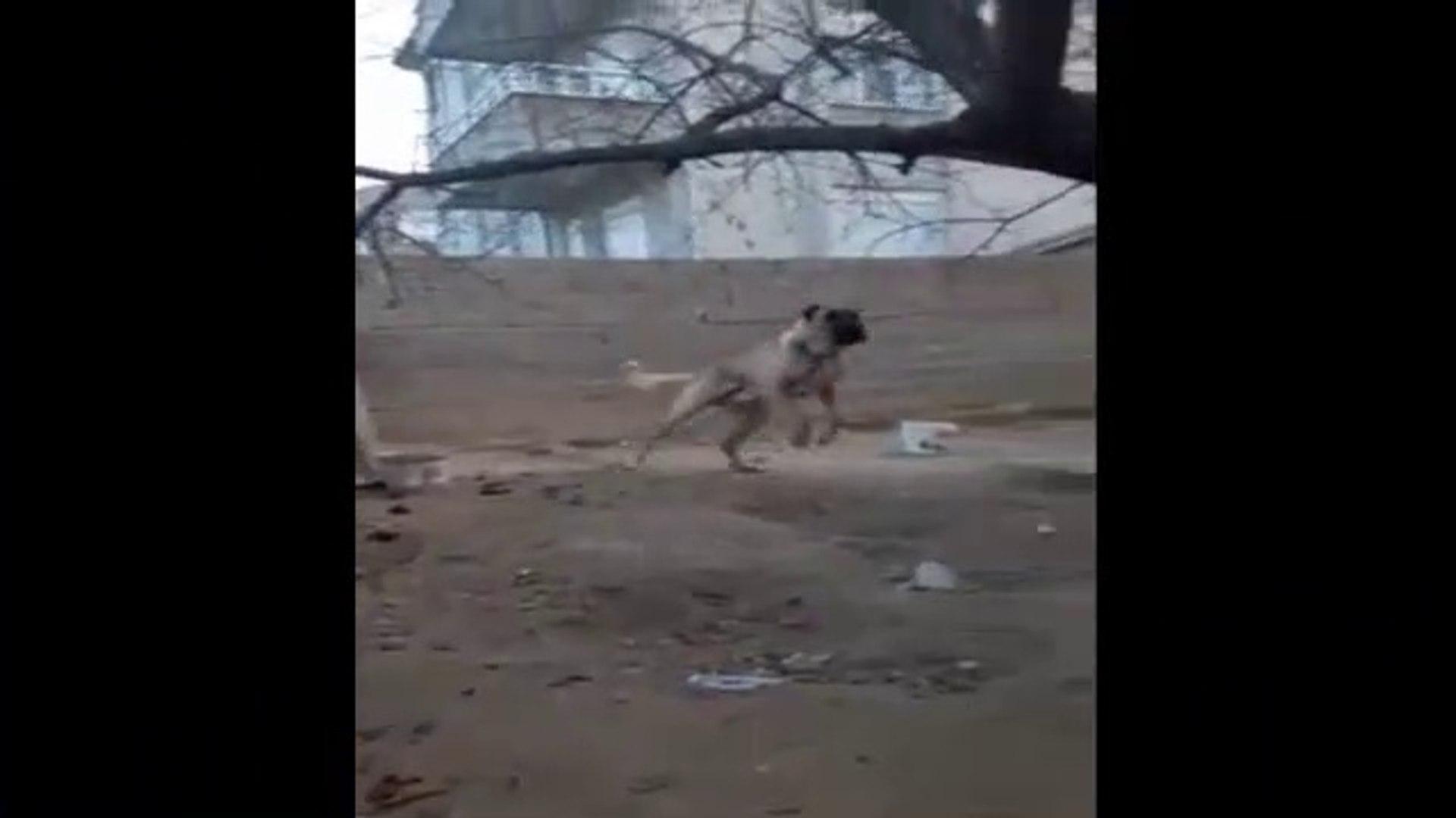 ENERJiK ve HiPERAKTiF COBAN KOPEGi - ANgRY ANATOLiAN SHEPHERD DOG