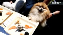 Japanese Cuisine for Canines? Dogs Devour Sashimi at Poochi Sushi