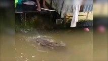 Ce crocodile vient chercher à manger comme un chien... Animal de compagnie un peu dangereux non?