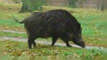 Deutschland  Schlaraffenland für Wildschweine