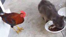 Amazing Funny Video of Hen And Cat funny Movemt Wh hd,funny cats, funny cats compilation, funny