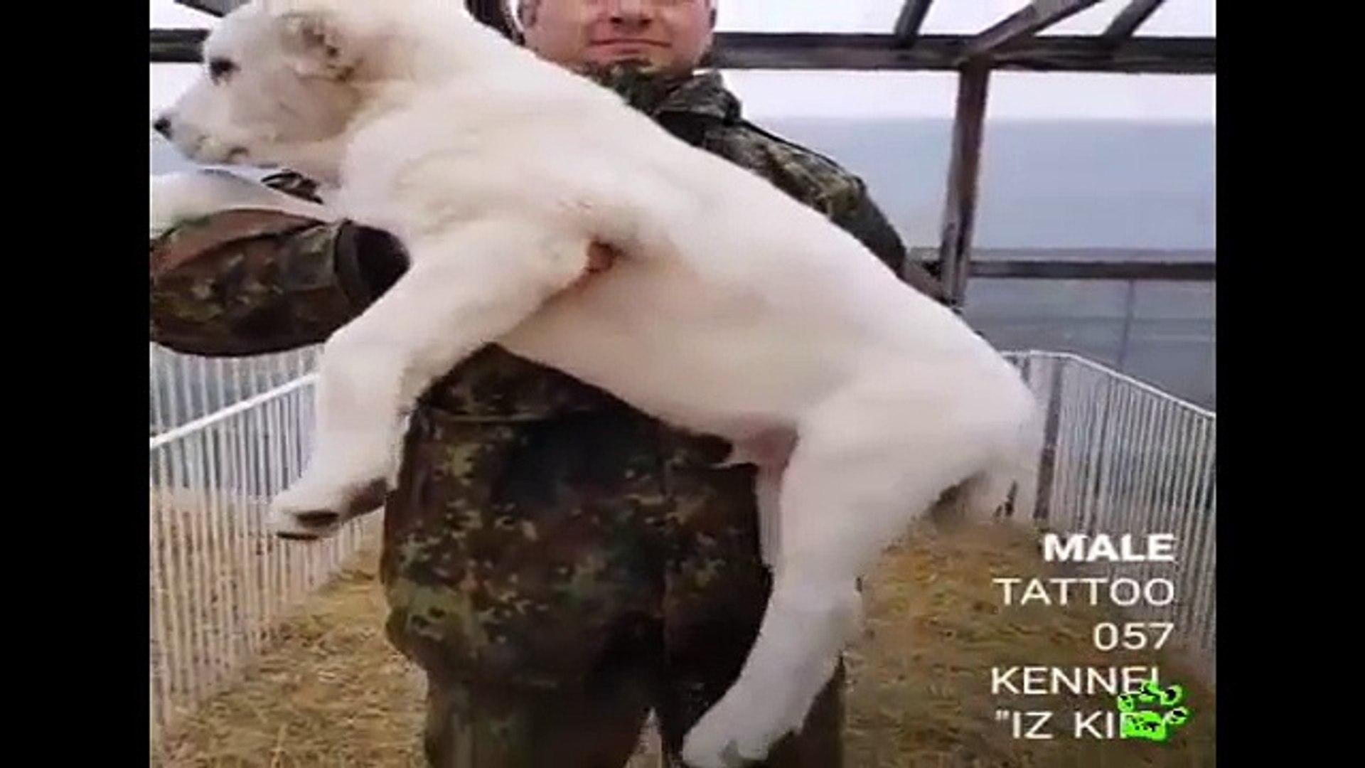 COK SEViMLi ALABAY COBAN KOPEGi YAVRUSU - VERY CUTE ALABAI SHEPHERD DOG PUPPY