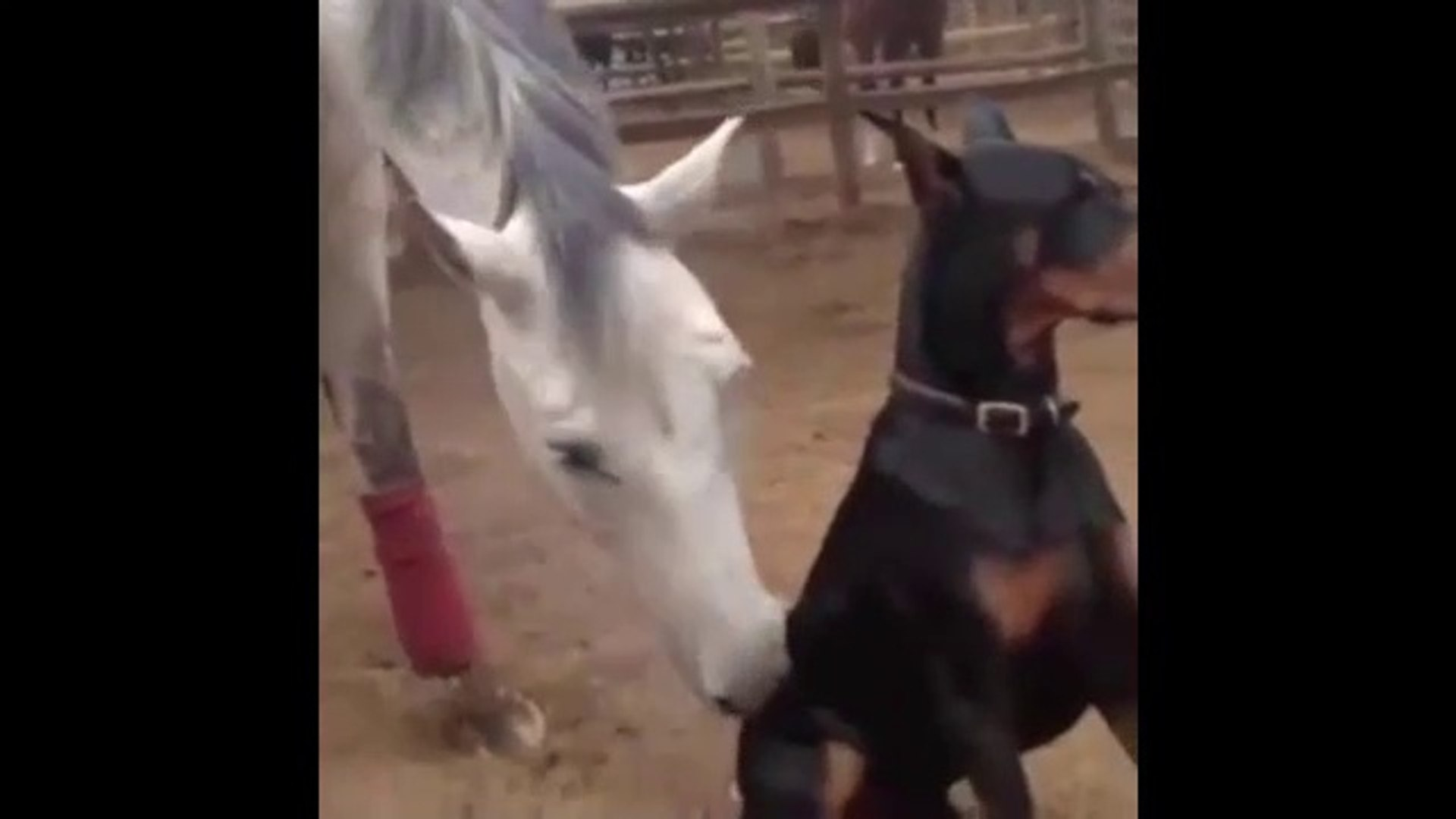 YARIS ATI ve DOBERMAN KOPEGi - RACE HORSE and DOBERMAN DOG
