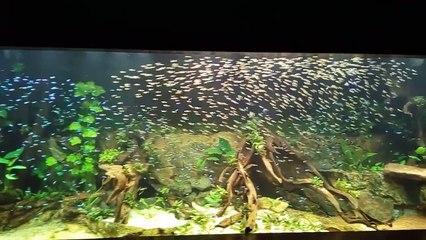 Un Banc De 1000 Poissons Tetra A Nez Rouge Dans Son Aquarium