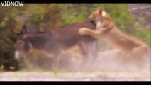 20 Hyenas Vs 2 Lions, Oryx Escape From 2 Lions, 2 Lions Attack And Kill Donkeys