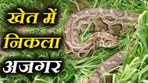 hapur Python found in field in Uttar pradesh खेत में निकला 12 फुट का अजगर, देखकर सकपका गए ग्रामीण