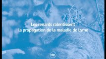 Les renards ralentissent la propagation de la maladie de Lyme