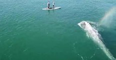 Juvenile Gray Whale Feeds Next to California Whale-Watching Tour