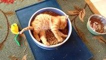 Un chaton dans une gamelle de croquettes