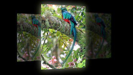 The Quetzal birds - They look beautiful with very long tails