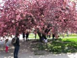 Jardin Plantes-Prunus (1)
