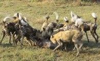 Cães Selvagens Devorando Javalis Vivos - Contém Cenas Fortes