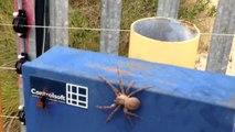 Araignée VS Guêpe... Combat impressionnant entre ces 2 insectes terrifiants
