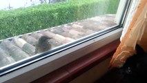 Cet oiseau n'a pas peur des chats... Surtout quand il y a une vitre entre lui et le minou