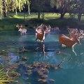 Des dizaines de cerfs traversent un étang aux eaux limpides... Magnifique