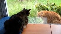 2 chats s'embrouillent à travers la fenêtre !! Sors si t'es un chat !!